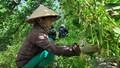 Nông dân Phú Yên xót xa đem hoa màu không được thu mua cho bò ăn