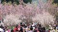 7.000 cành hoa anh đào sẽ khoe sắc tại Hà Nội