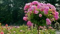 1000 cây hồng Bulgaria khoe sắc tại Lễ hội Hoa hồng