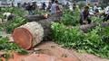 Chặt hạ hàng ngàn cây xanh, TP Hà Nội có phạm quy?