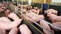 """Bài 1:CP và Anco liên quan gì tới """"phi vụ lợn dính chất cấm"""""""