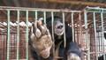 Quảng Ninh: Gấu nuôi nhốt đang bị bỏ đói và chết hàng loạt