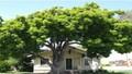 Vì sao con người coi trọng phong thủy dương trạch - Kỳ 2: Ngôi nhà ở gần nơi có cây cổ thụ có tốt không?