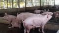 Bắt giữ  hơn 2 tấn heo thịt nhập lậu từ Campuchia vào Việt Nam