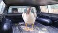 Phát hiện chim quý hiếm nặng 9kg