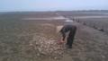 Hà Tĩnh: Sau cá chết đến lượt ngao chết bất thường