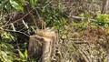 Truy bắt nhóm lâm tặc phá rừng quy mô lớn ở Đắk Lắk