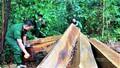 Mở rộng điều tra vụ phá rừng nguyên sinh hàng trăm năm tuổi ở Đắk Lắk