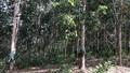 Gần 400 ha cao su xanh tốt bỗng nhiên... vô chủ vì bị phát hiện trồng trái phép trên đất rừng