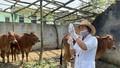 Mua 30.000 liều vắc xin bệnh viêm da nổi cục hỗ trợ các hộ chăn nuôi