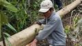 Phó Thủ tướng yêu cầu làm rõ thông tin phá rừng để nuôi bò ở Phú Yên