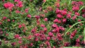 Khám phá vườn hoa hồng Pháp cổ ở Fansipan Legend