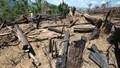 """Báo động ở Quảng Nam:  Hơn trăm hec-ta rừng phòng hộ bị """"xóa sổ"""" không thương tiếc"""