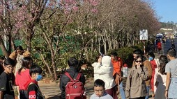 Hàng ngàn du khách đổ về Đà Lạt ngắm Mai Anh Đào nở rộ