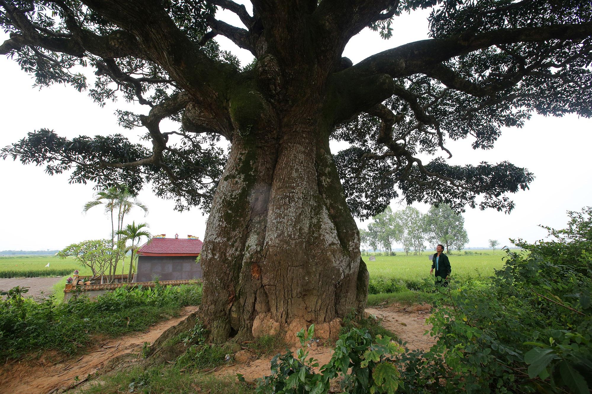 Hà Nội: Cây trôi cô đơn nghìn năm tuổi, báu vật của làng Bình Đà - 13