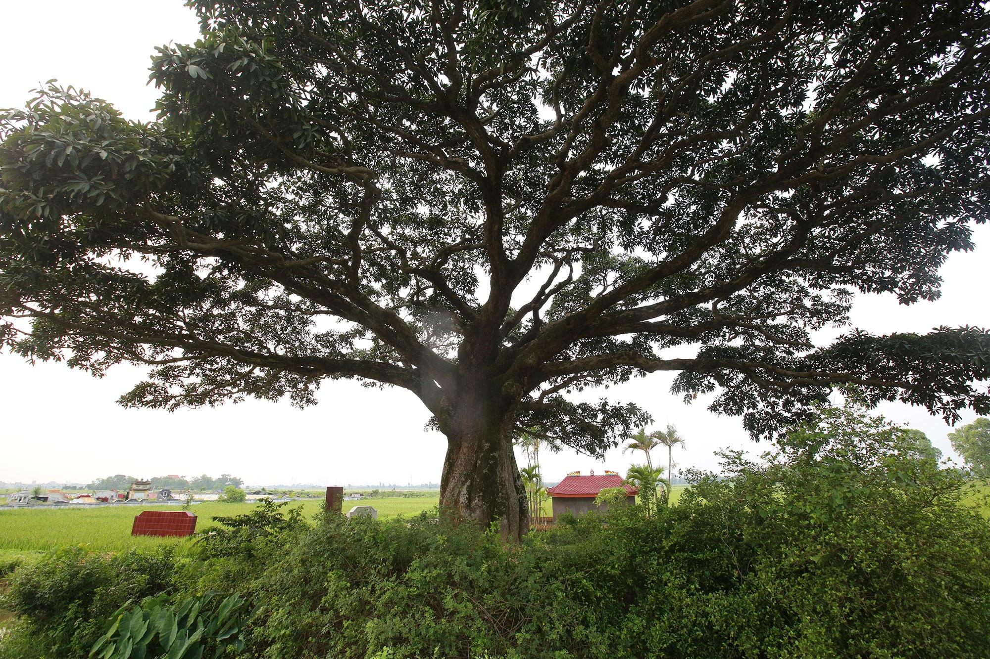 Hà Nội: Cây trôi cô đơn nghìn năm tuổi, báu vật của làng Bình Đà - 14