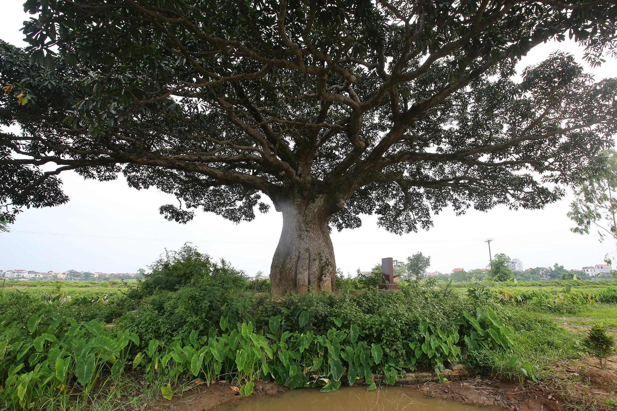 Hà Nội: Cây trôi cô đơn nghìn năm tuổi, báu vật của làng Bình Đà - 2