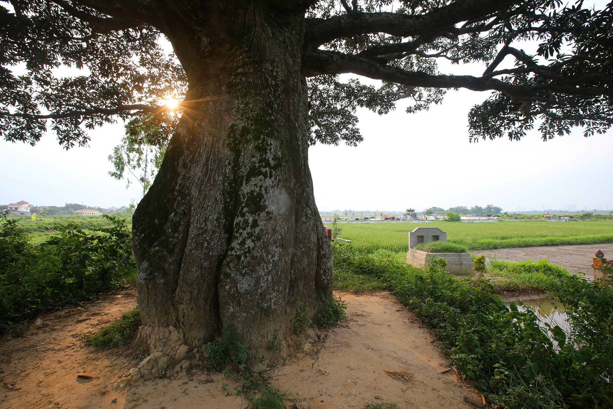 Hà Nội: Cây trôi cô đơn nghìn năm tuổi, báu vật của làng Bình Đà - 3
