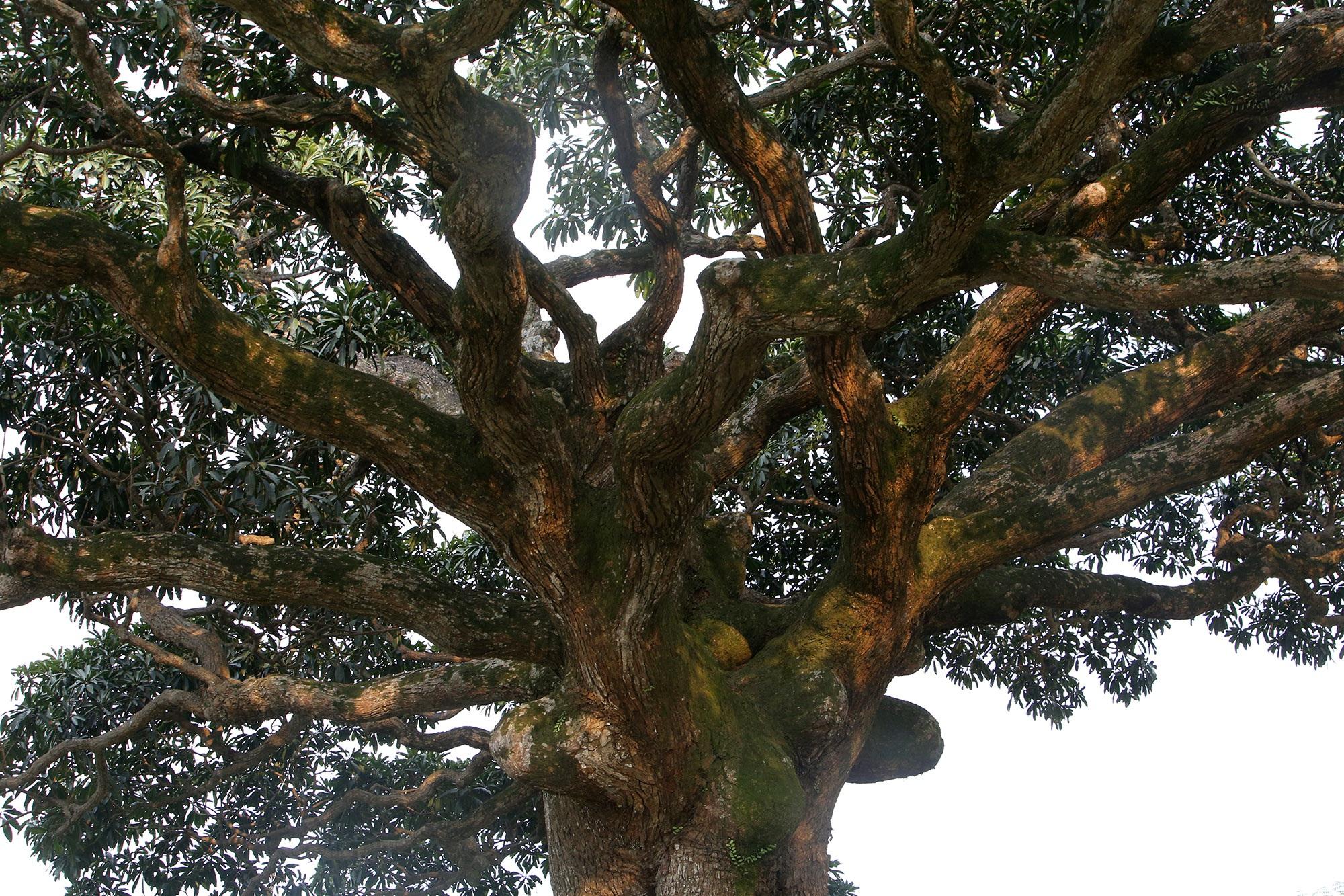 Hà Nội: Cây trôi cô đơn nghìn năm tuổi, báu vật của làng Bình Đà - 4