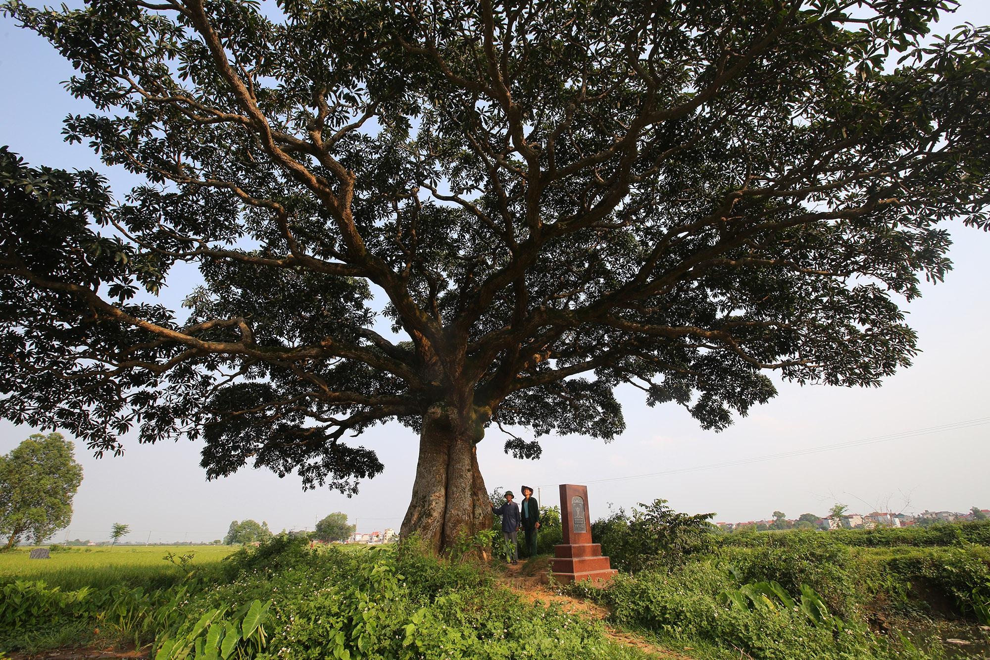Hà Nội: Cây trôi cô đơn nghìn năm tuổi, báu vật của làng Bình Đà - 7
