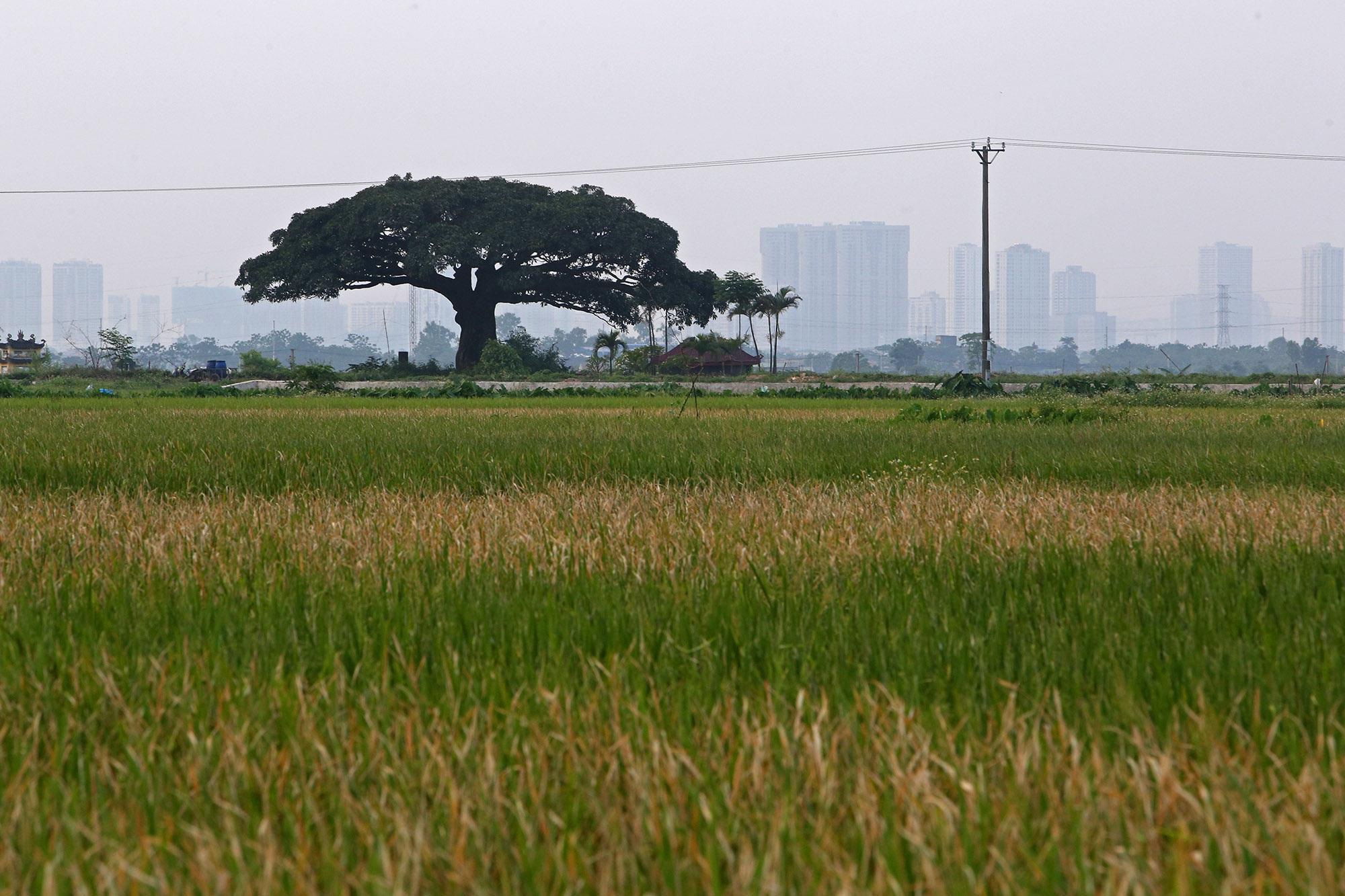 Hà Nội: Cây trôi cô đơn nghìn năm tuổi, báu vật của làng Bình Đà - 8