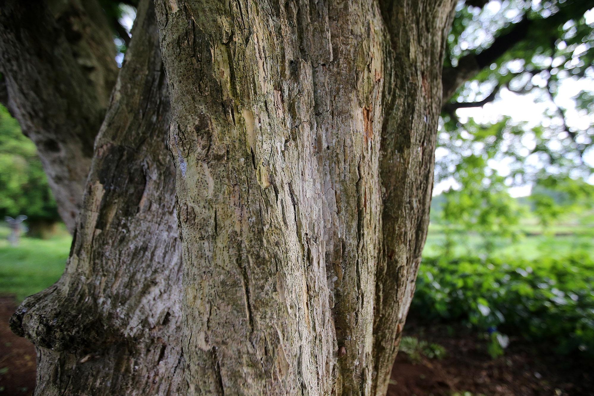 Rặng cây duối cổ hơn 1000 năm tuổi ở Hà Nội - 10