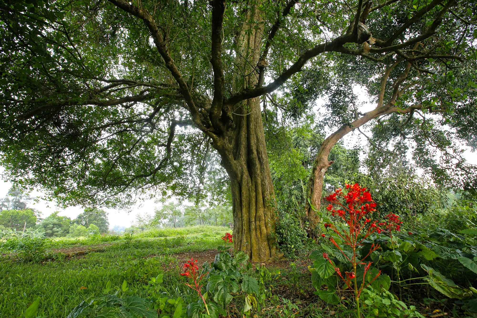 Rặng cây duối cổ hơn 1000 năm tuổi ở Hà Nội - 11