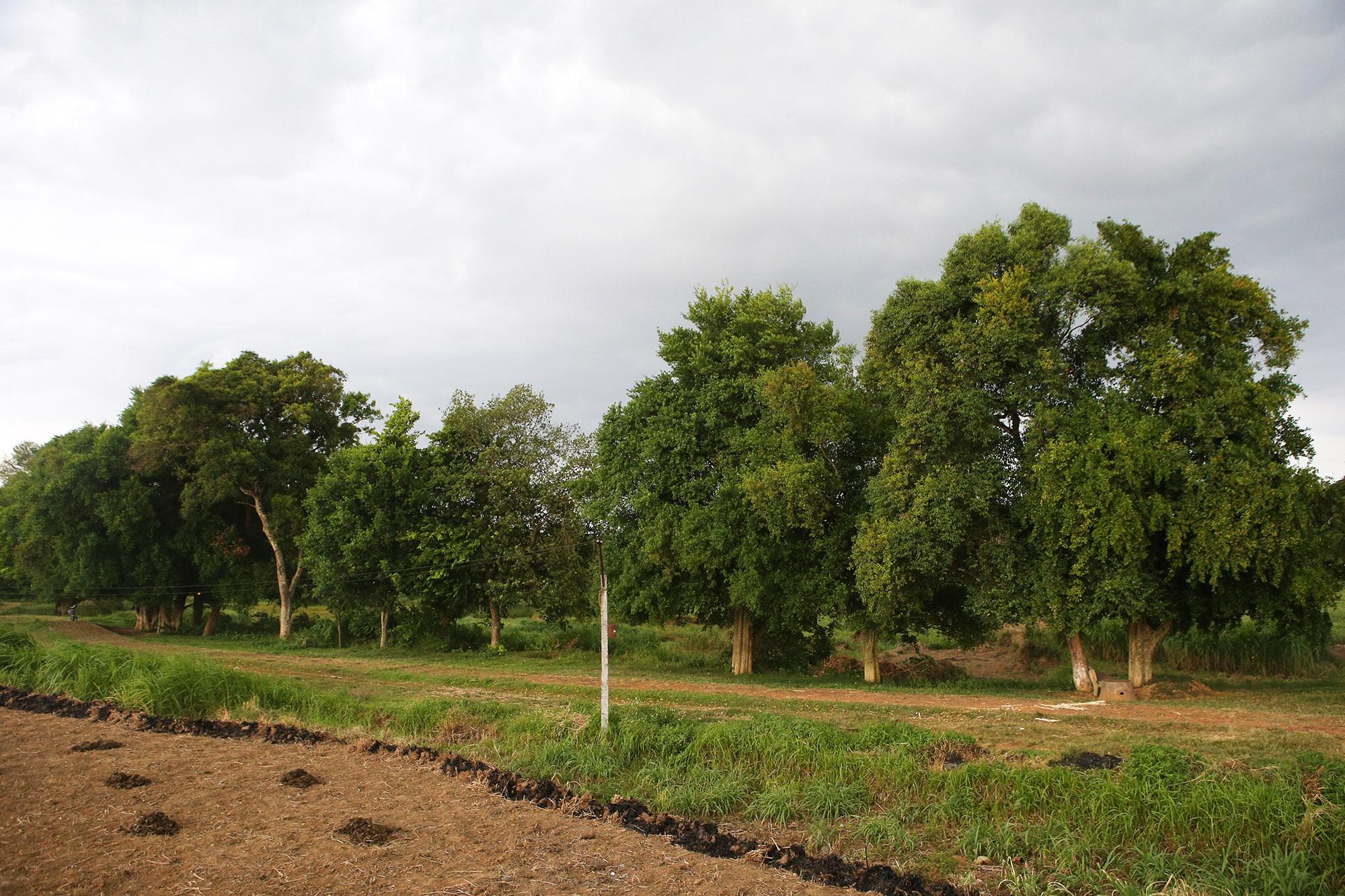 Rặng cây duối cổ hơn 1000 năm tuổi ở Hà Nội - 13