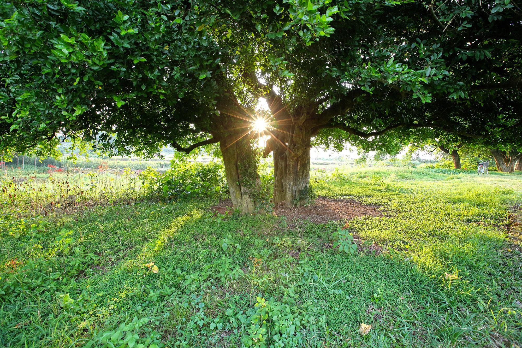 Rặng cây duối cổ hơn 1000 năm tuổi ở Hà Nội - 15
