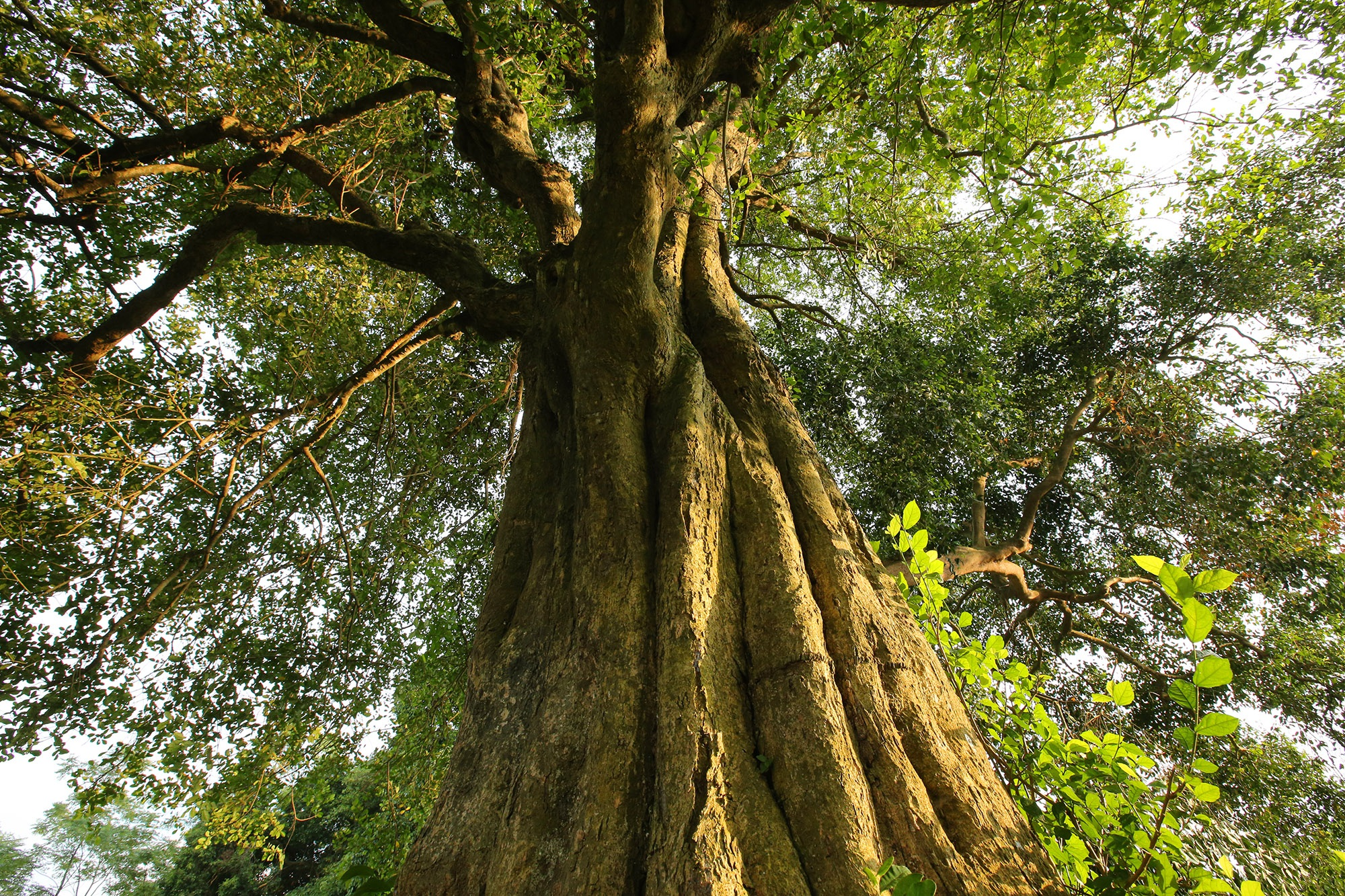 Rặng cây duối cổ hơn 1000 năm tuổi ở Hà Nội - 3