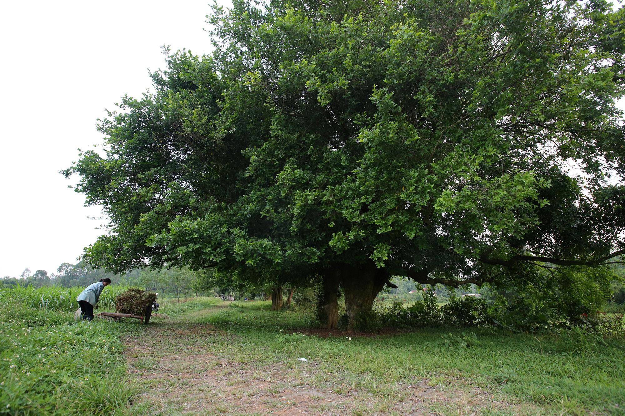 Rặng cây duối cổ hơn 1000 năm tuổi ở Hà Nội - 5