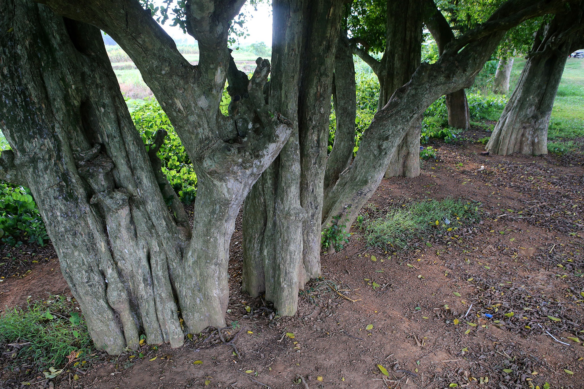 Rặng cây duối cổ hơn 1000 năm tuổi ở Hà Nội - 6