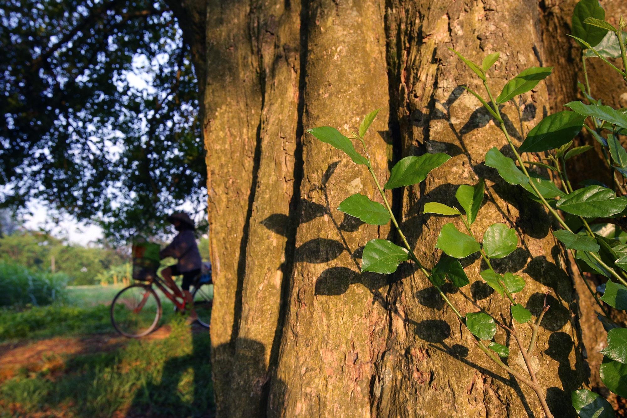 Rặng cây duối cổ hơn 1000 năm tuổi ở Hà Nội - 7