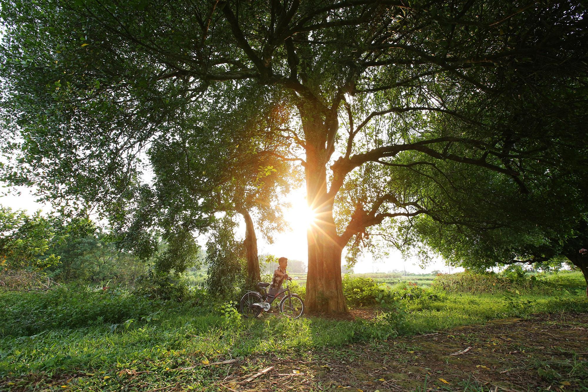 Rặng cây duối cổ hơn 1000 năm tuổi ở Hà Nội - 8