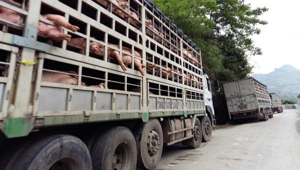 'Siết' kiểm soát vận chuyển lợn, sản phẩm từ lợn qua biên giới