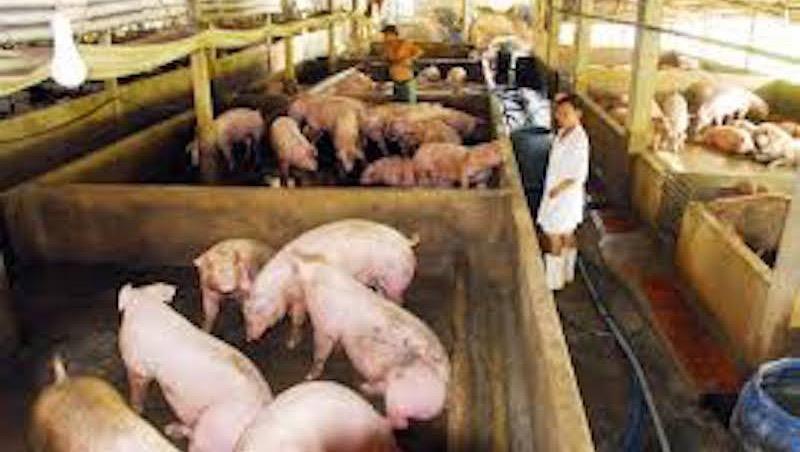 Hải Phòng: Xử lý nghiêm các trường hợp không báo dịch, bán chạy gia súc bệnh ra môi trường