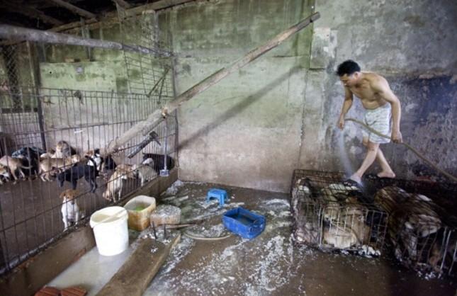 Rơi nước mắt xem clip chó bị nhồi tàn bạo trước khi bán để làm thịt