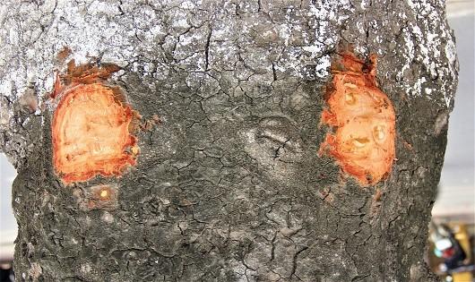 Kỳ lạ: Hàng xà cừ cổ thụ trên đường Láng bị khoét từng mảng