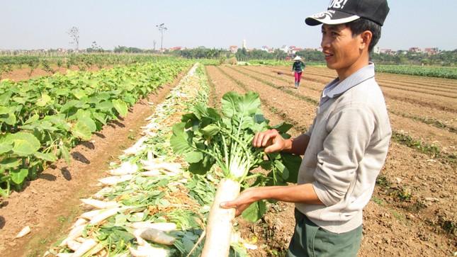 Củ cải ế vì bị hiểu lầm trên cánh đồng thôn Đông Cao