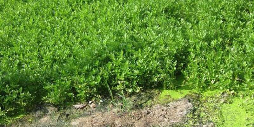 Kinh hoàng rau xanh tưới nước phân tươi