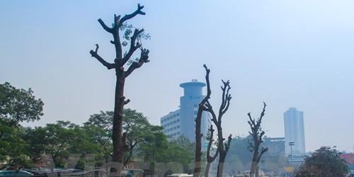 Cả một hàng cây tuyệt đẹp trên con đường của Thủ đô sắp bị chặt hạ. Những thân cây cao lớn bị cưa trụi lủi, trơ trọi. (Ảnh: Sơn-Long/Vietnam+)