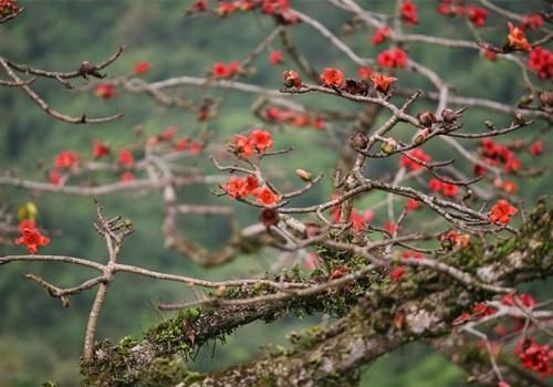 Những cành khẳng khiu rêu mốc đã dồn nhựa sống để bật ra những bông hoa đỏ thắm