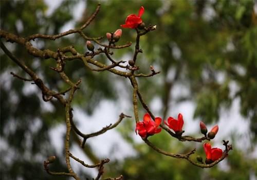 Từng bông hoa như những đốm lửa thắp đỏ trên cành