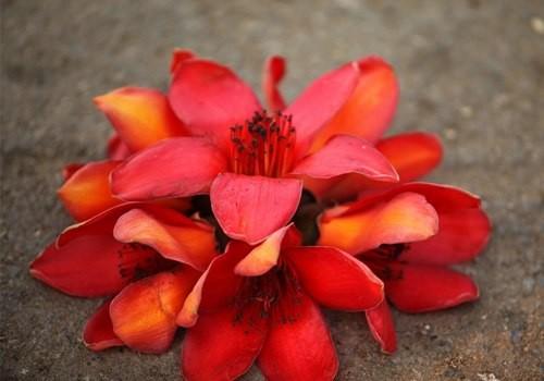 Những cánh gạo đỏ gơi nhớ đến bài thơ buồn Chị ơi của nhà thơ Đoàn Thị Tảo Thế là chị ơi! Rụng bông hoa gạo!