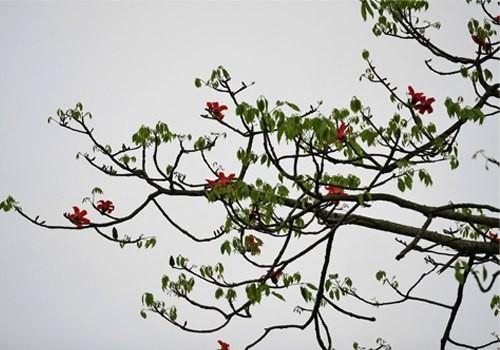 Những nhành lộc xanh xen lẫn với mầu đỏ của hoa gạo báo hiệu hè đã sang
