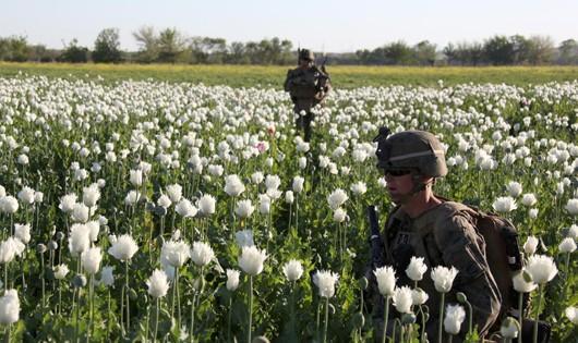 Trồng cây anh túc để sản xuất ma túy, là một trong những nguồn thu tài chính của phiến quân Taliban