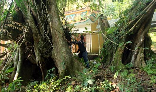 Một cây có đường kính 2,4 m, cây còn lại là 3,5 m. Do tác động của thiên nhiên, một số vị trí ở gốc cây đã bị mục. Hình: Tiến Hùng/Vnexpress.