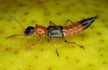Sự thật về nọc độc 'gấp hơn 10 lần rắn hổ mang' của kiến ba khoang