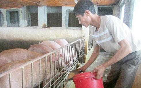 Dân Việt ăn sang: Lợn tẩm bổ thuốc bắc, cà chua bón trứng sữa