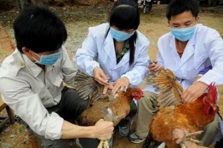 Dịch cúm gia cầm sẽ diễn biến hết sức phức tạp